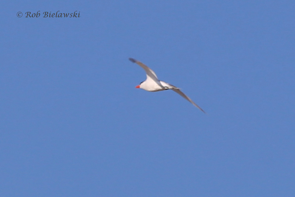 Possible Caspian Tern?