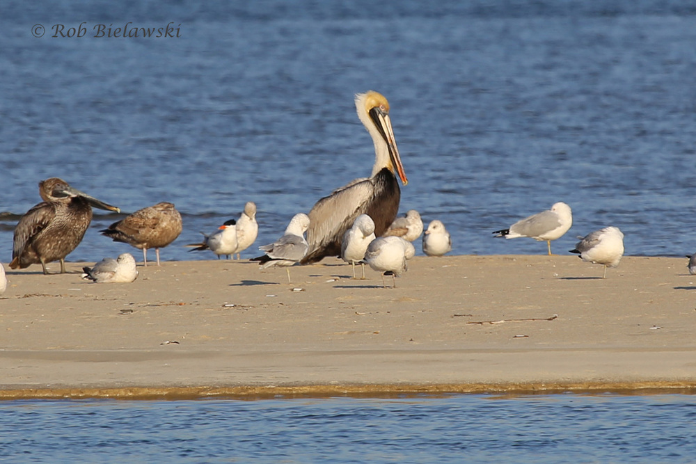 Ring-billed & Herring Gulls, Brown Pelican, & Royal Tern