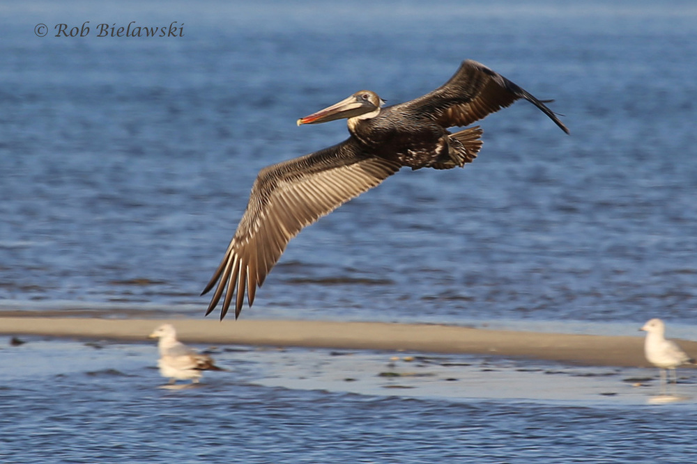 Brown Pelican & Ring-billed Gulls