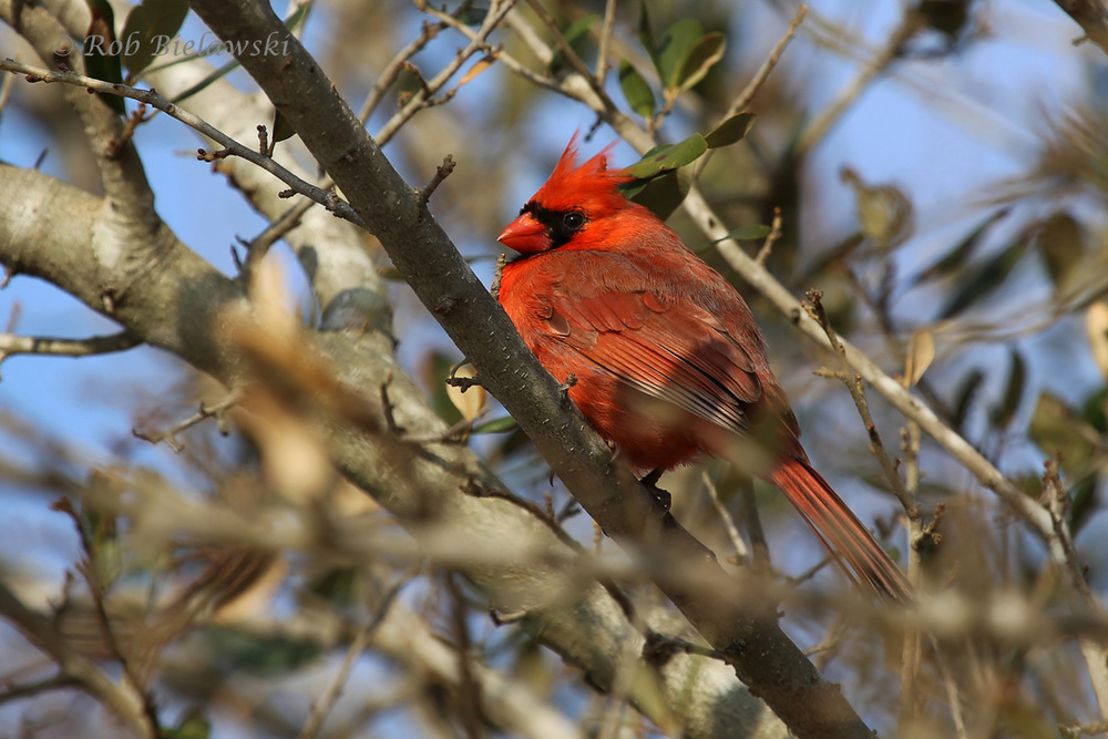 A striking male Northern Cardinal perches in a tree at Pleasure House Point!
