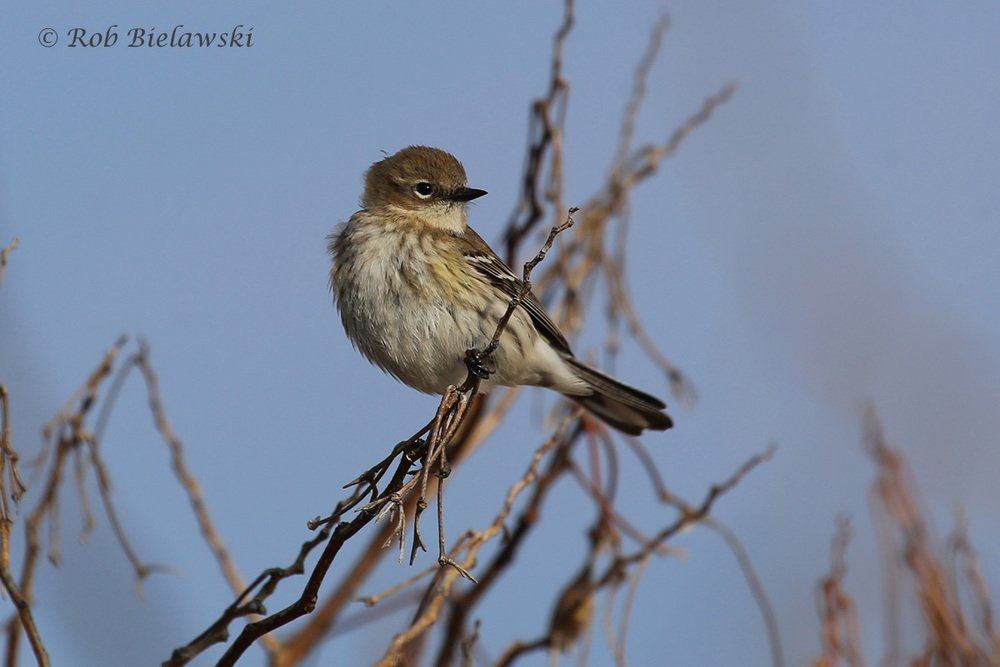 Still our most common warbler species even this time of year, the Yellow-rumped Warblers can always be counted on for a photo op!