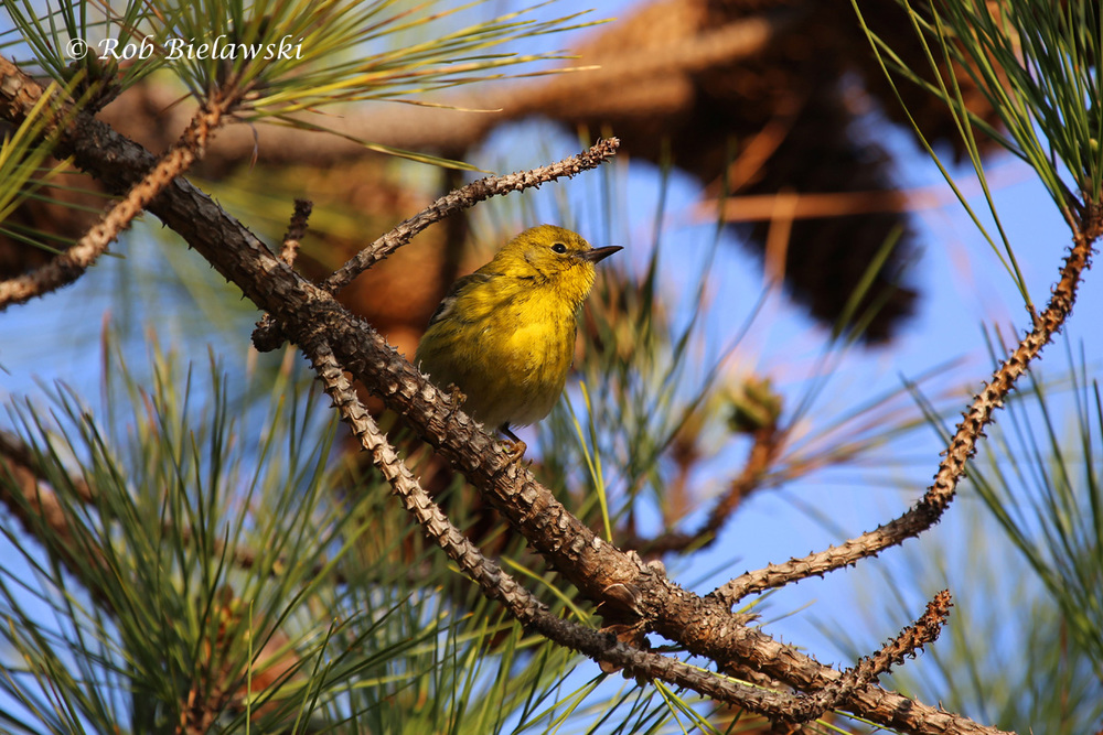 Another of our warbler, this Pine Warbler provided me a number of photographs during about a 15-minute span of jumping from branch to branch on a pine tree.