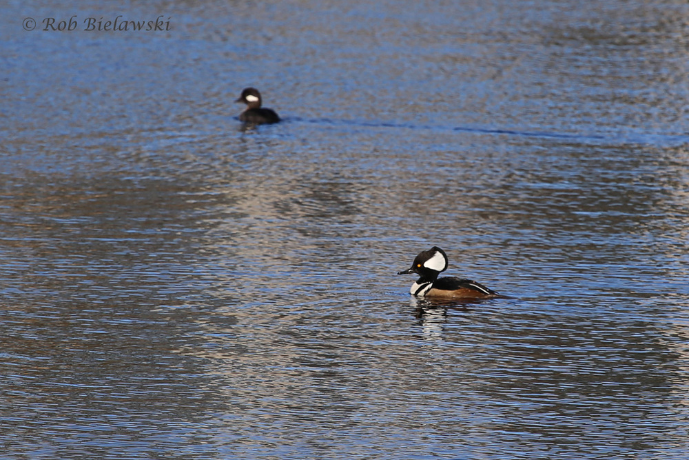 Bufflehead & Hooded Merganser