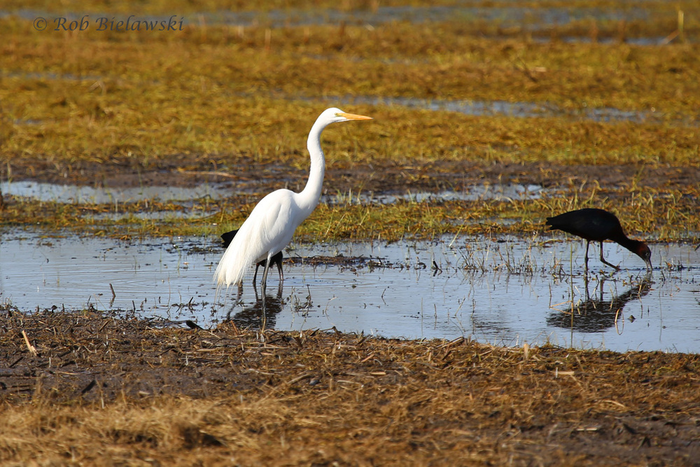 Great Egret & Glossy Ibis