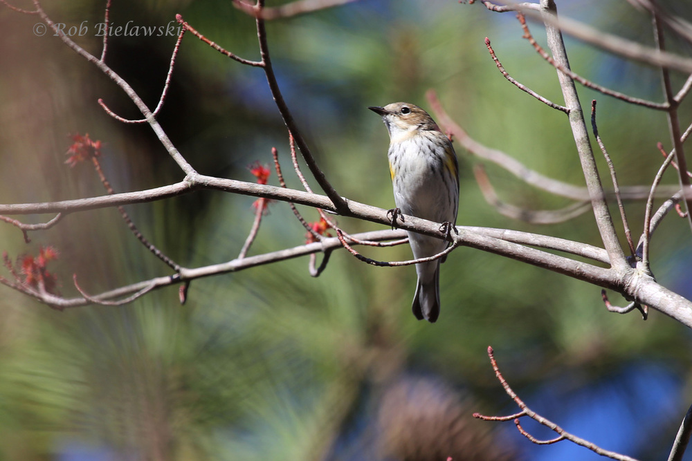 Our faithful winter warblers, the Yellow-rumped Warbler, are slowly being overwhelmed by migrating warblers moving into the region.