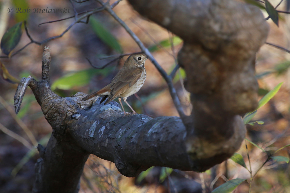 Another of our winter species, the Hermit Thrush, can be heard singing their flute-like songs throughout the woods.