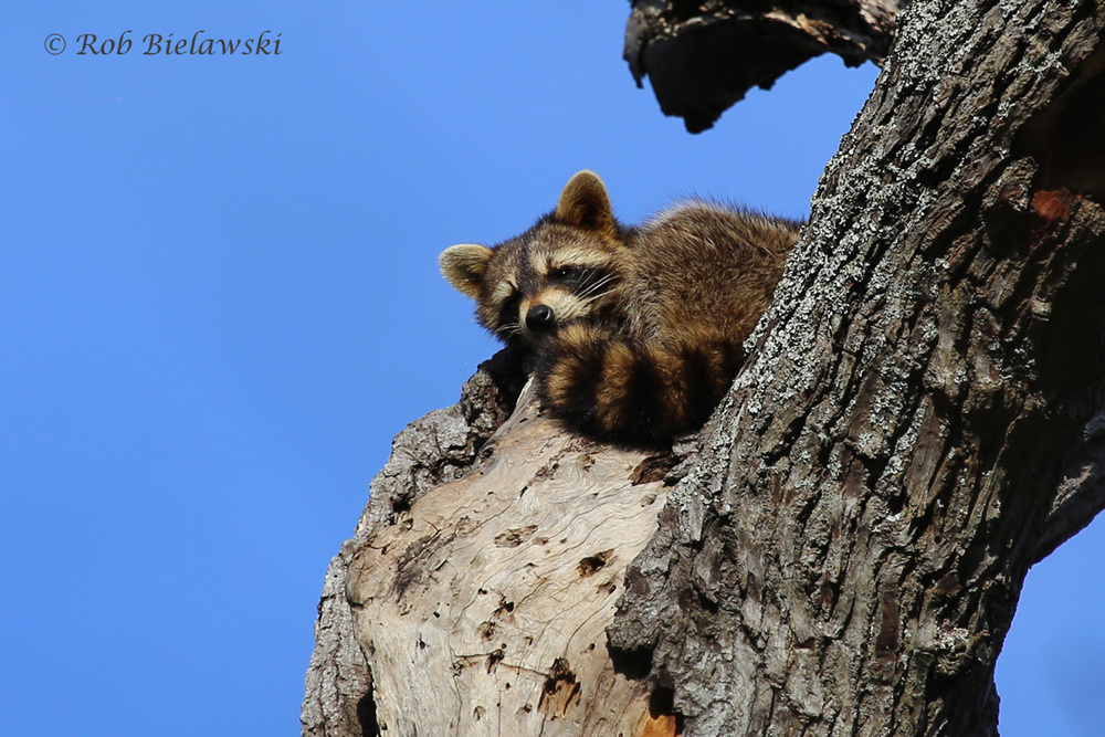 Seen at First Landing State Park, I caught this Raccoon taking a nap atop it's home tree!