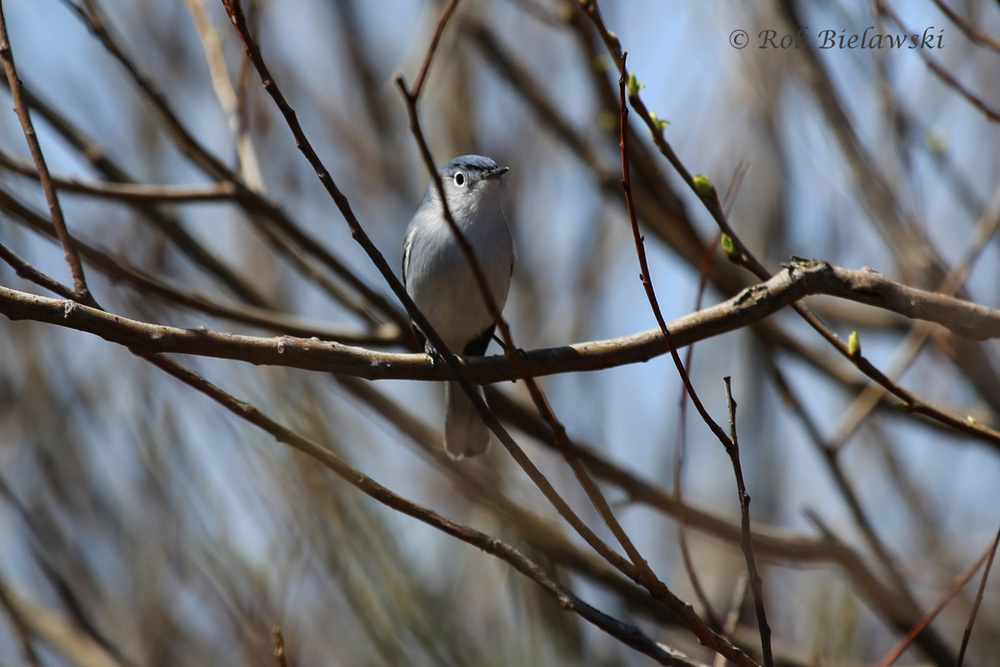 One of our earliest migrant birds, and quite striking, is the Blue-gray Gnatcatcher!