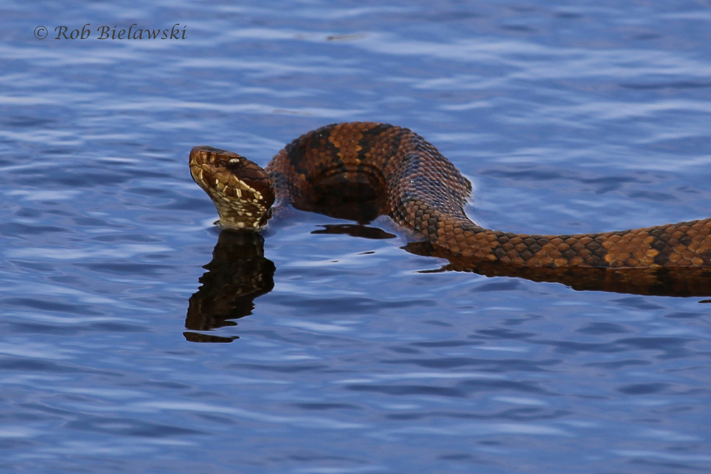 Eastern Cottonmouth