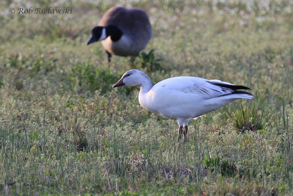 Snow Goose & Canada Goose