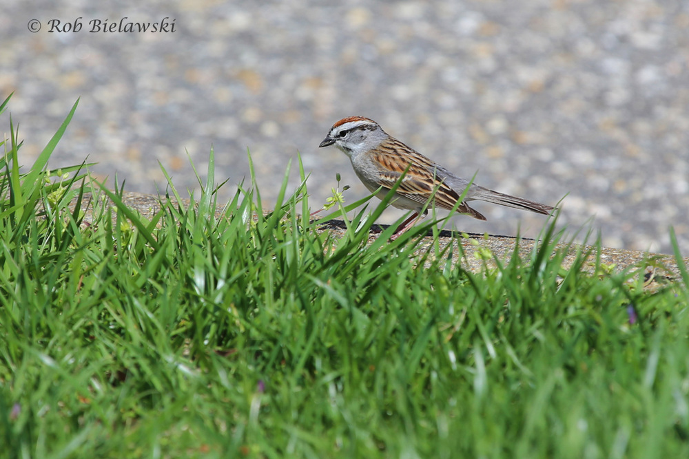 One of several first of year birds seen over the weekend, this is a Chipping Sparrow, seen in James City County.