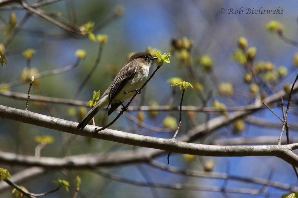 An Eastern Phoebe, one of several, seen at Greensprings Interpretive Trail near Jamestown!