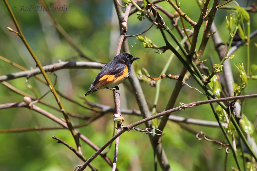 One of our migrant warblers that just showed up this week to coastal Virginia, an American Redstart. This particular one must have been attacked, because it is missing all of its tail feathers!