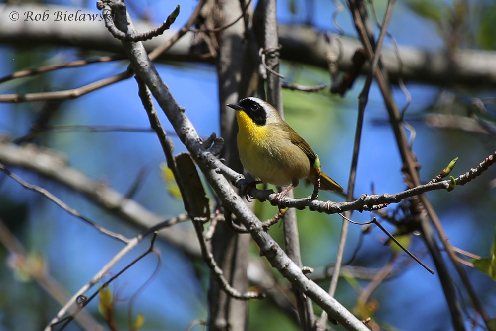 A favorite warbler of mine, the strinking, almost-robber-looking, Common Yellowthroat!