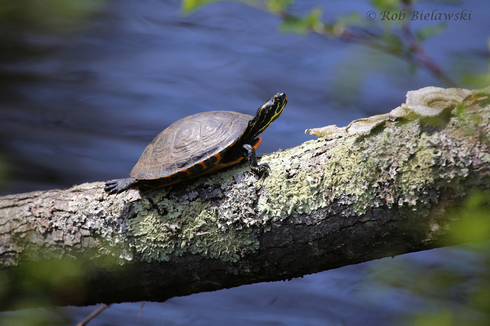 One of a great many Yellow-bellied Sliders seen along the Washington Ditch at Great Dismal Swamp NWR!