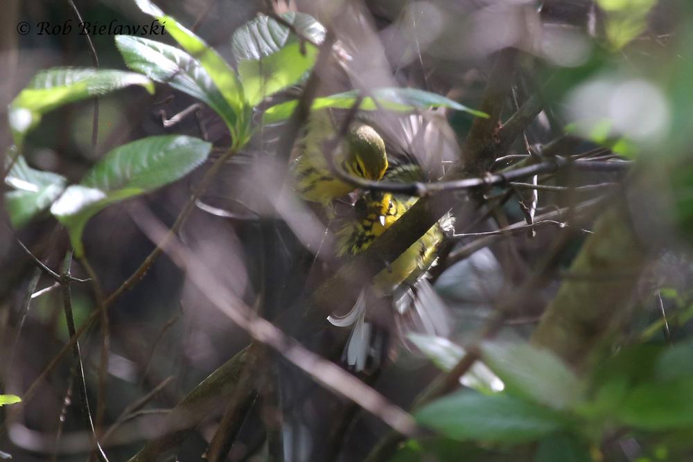 Prairie Warblers