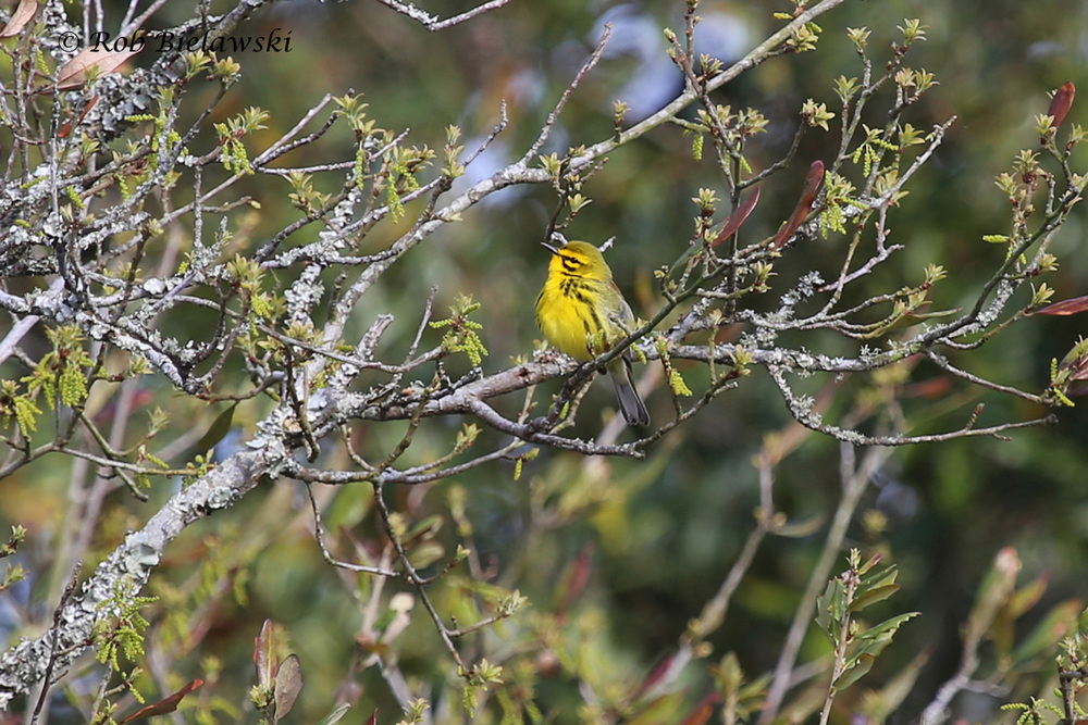 Quite possibly my favorite warbler of the spring & summer here in Virginia Beach, the Prairie Warbler!