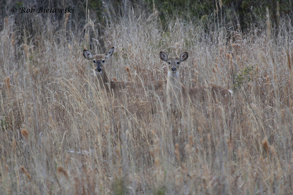 A pair of White-tailed Deer peeking at me from the safety of the interior marshes at Back Bay National Wildlife Refuge!