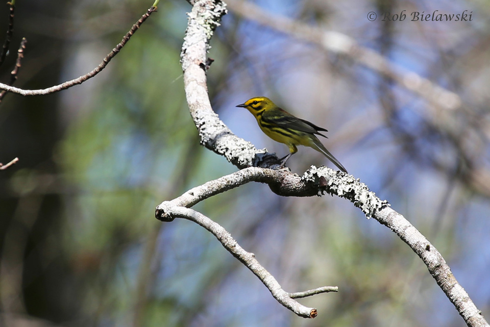 Another Prairie Warbler, one of very many that were seen at the Great Dismal Swamp on Saturday!