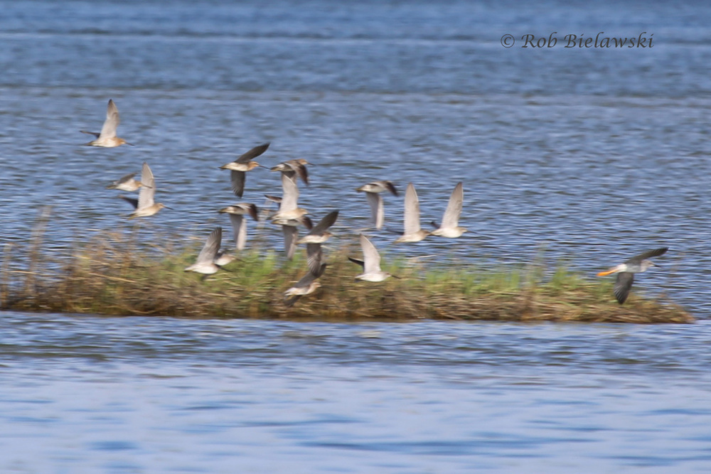 Short-billed Dowitchers & Greater Yellowlegs