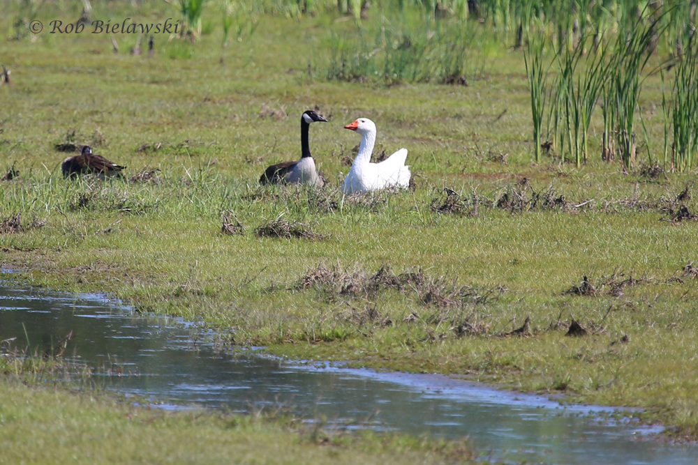 Canada Geese & Domestic Goose