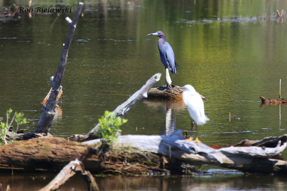 Little Blue Heron & Snowy Egret