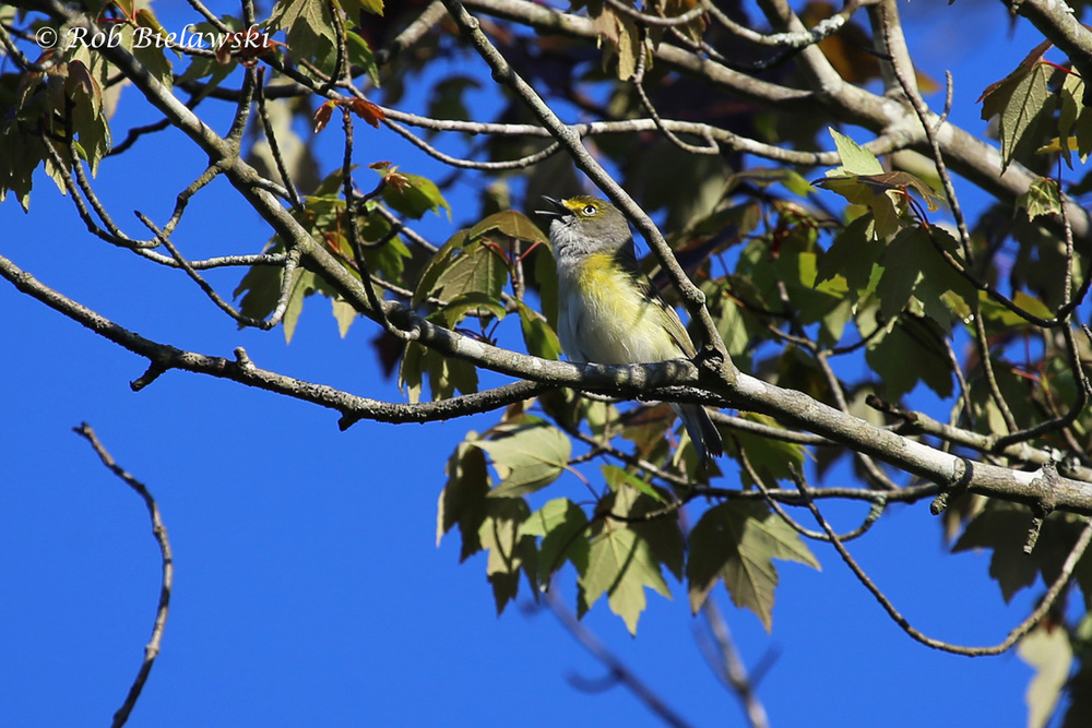 Finally captures a good photograph of a White-eyed Vireo along the New Ditch Trail at Great Dismal Swamp National Wildlife Refuge!