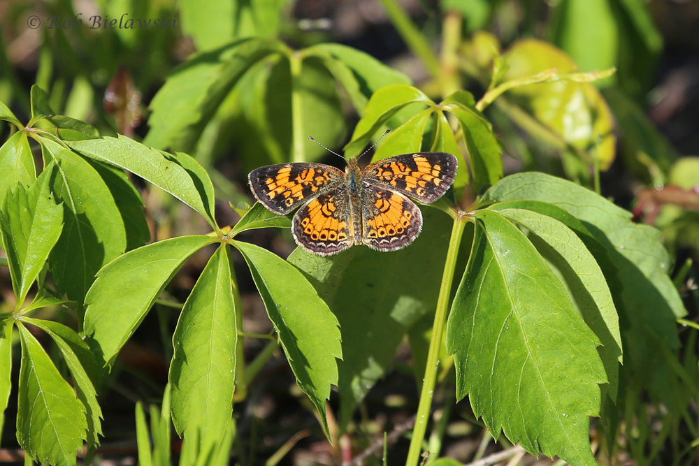 I'm not a butterfly guru, but I believe this is a Pearl Crescent, seen at Great Dismal Swamp NWR!
