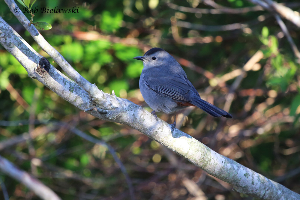 While they typically spend their time in dense thickets, this, and many other Gray Catbirds were seen over the weekend at various locations, and many were singing all day long!