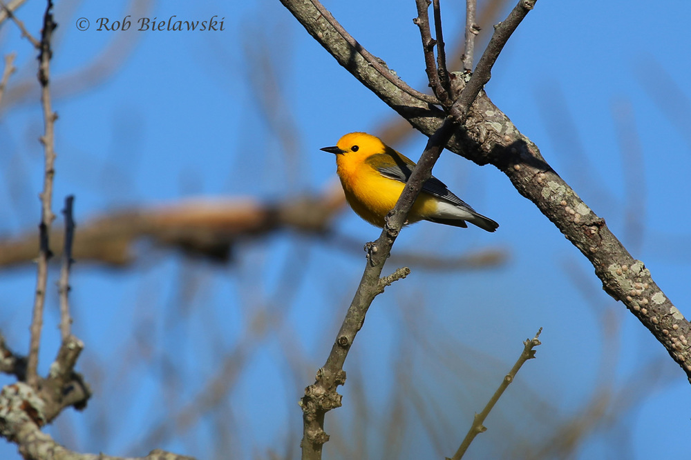 While I spent several outings at the Great Dismal Swamp looking for good photographs of a Prothonotary Warbler, I ended up getting my best so far this year at Back Bay NWR on Sunday morning!