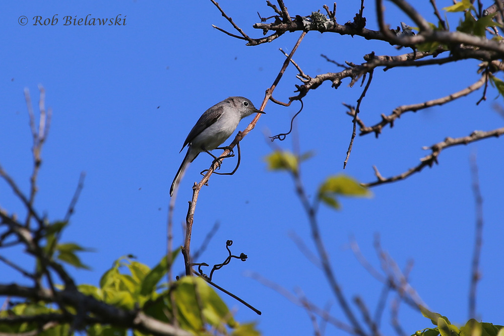 Those aren't smudges on the photograph surrounding this Blue-gray Gnatcatcher, they're actually its desired prey, lots of gnats!