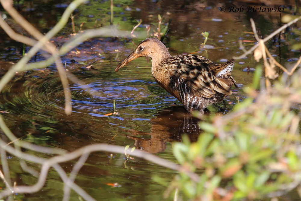A secretive King Rail seen at Back Bay NWR along the west end of the Bay Trail Sunday morning!