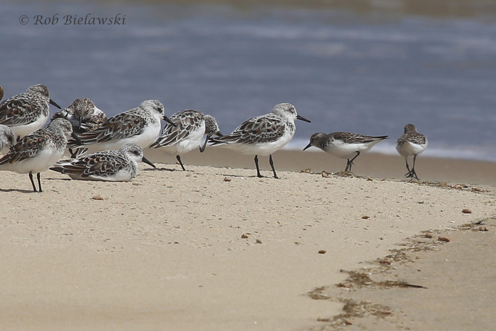 Sanderlings & Semipalmated Sandpipers