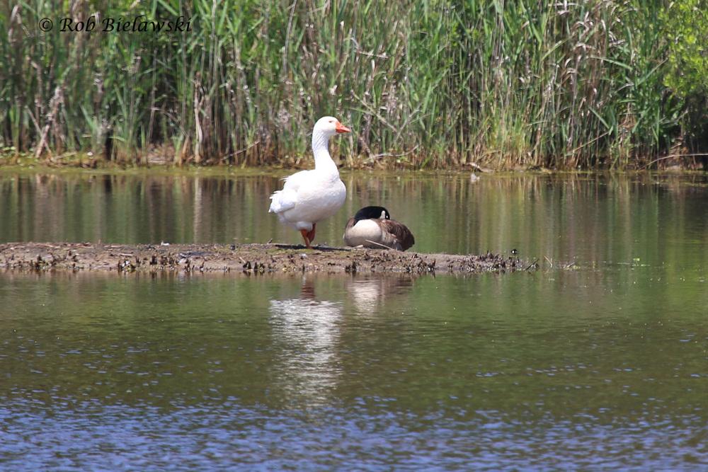 Domestic & Canada Goose