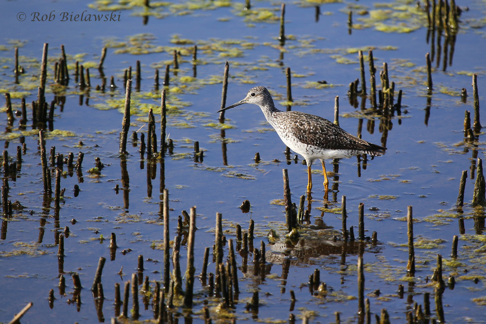 One of many Greater Yellowlegs seen over the weekend, this one at Back Bay National Wildlife Refuge!