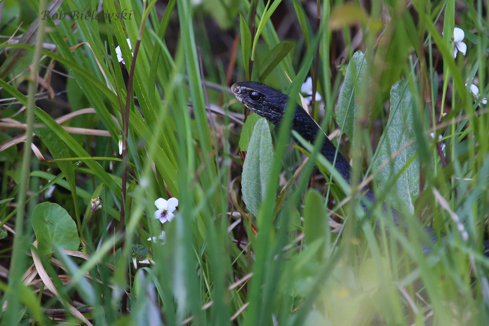 A Black Racer peaks out of the vegetation along the trail to Barbour Hill in False Cape State Park!