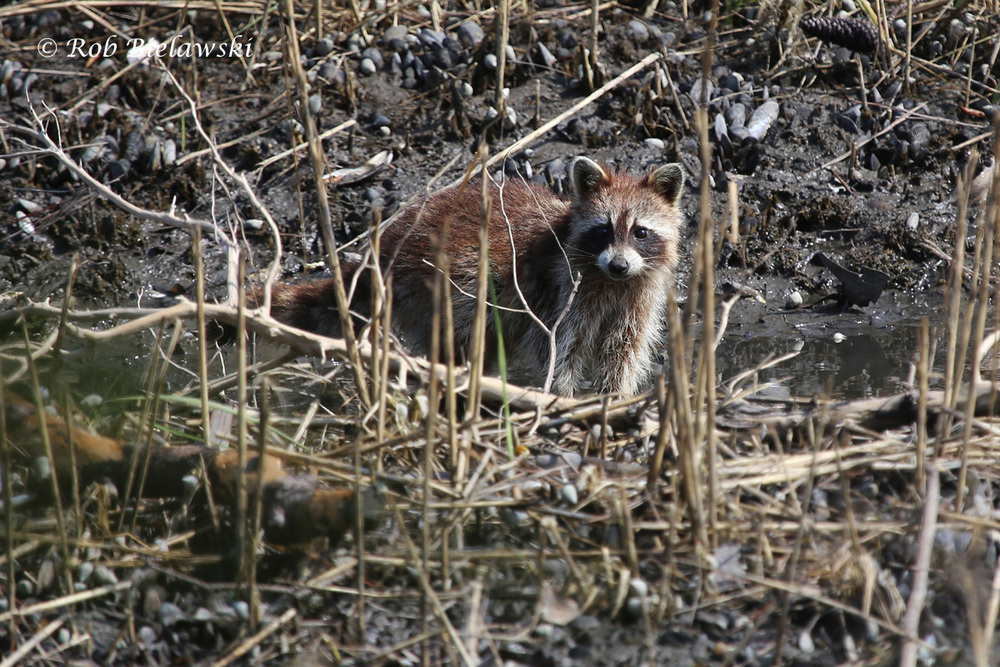One of a pair of Raccoons sighted along the Osprey Trail at First Landing State Park!