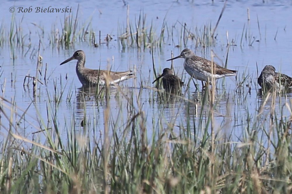 Greater Yellowlegs, Dowitcher & Willet