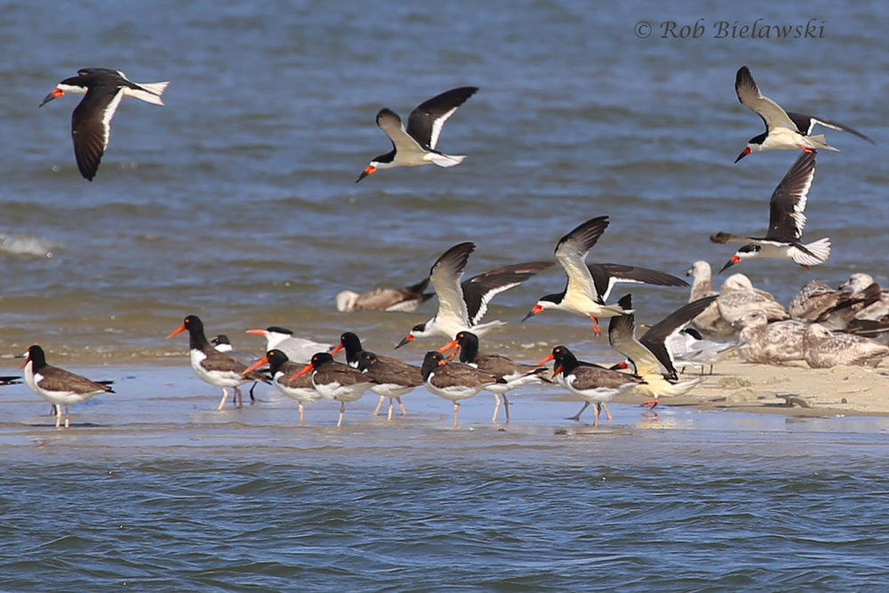 Black Skimmers & American Oystercatchers