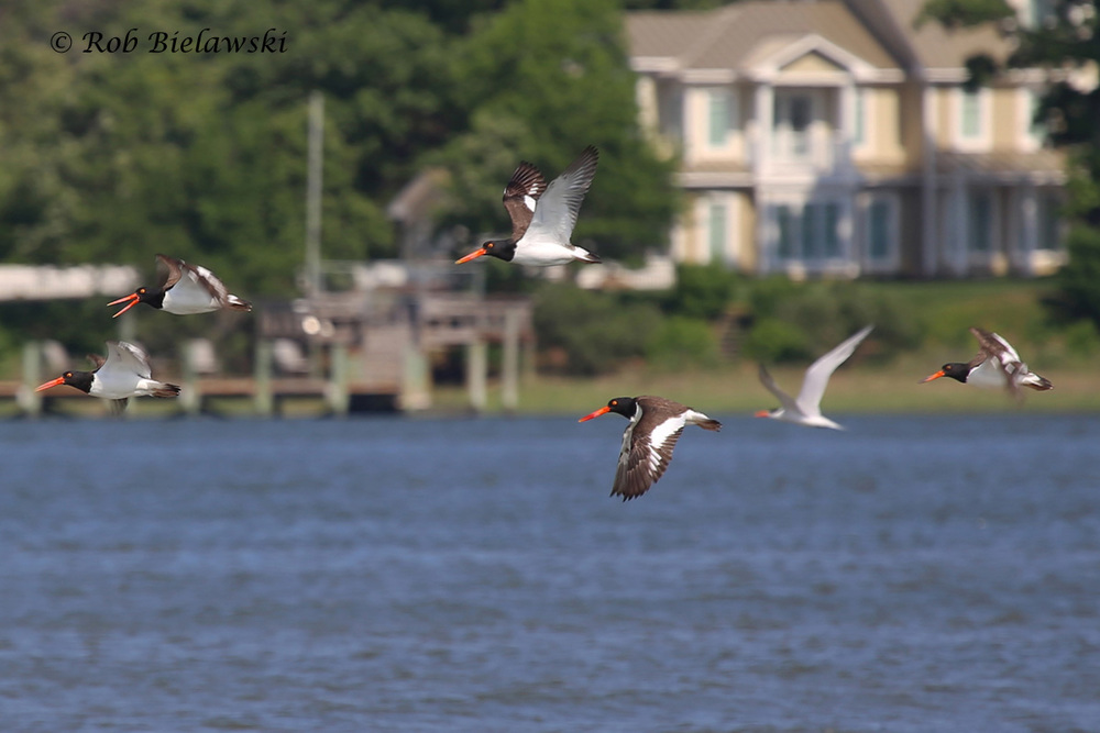 American Oystercatchers & Royal Tern
