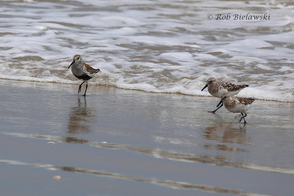 Dunlin & Sanderlings