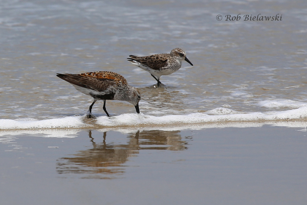 Dunlin & Semipalmated Sandpiper