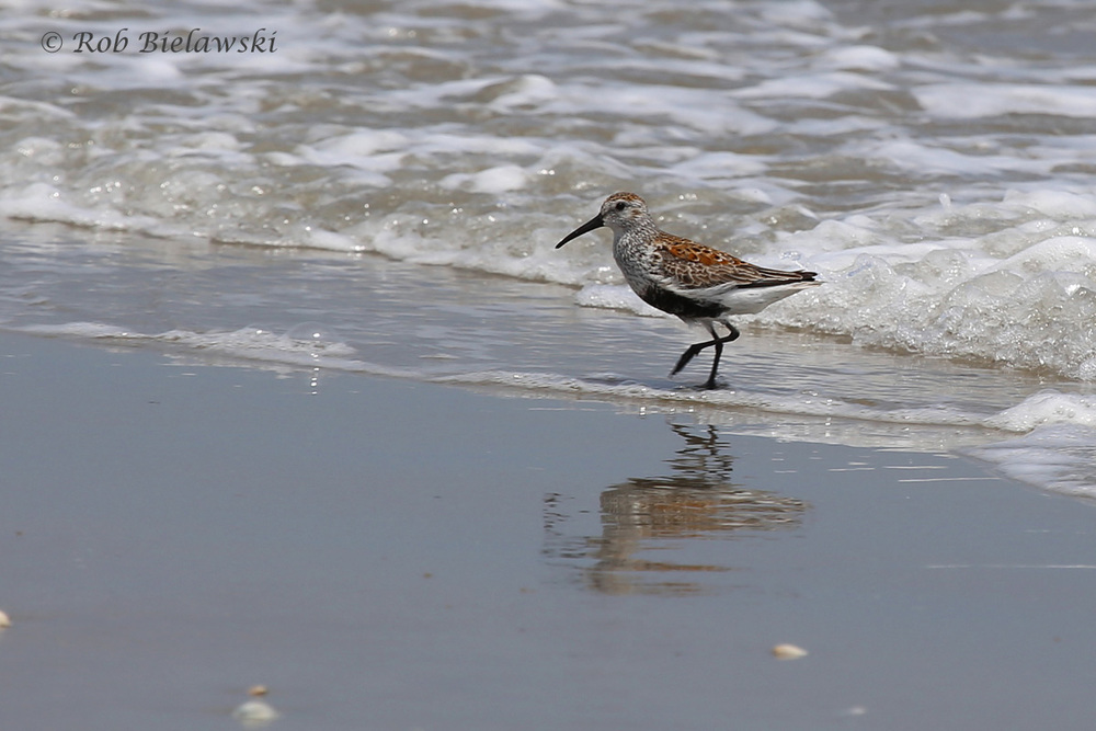 My first Dunlin sighting of the year, along the beach at False Cape State Park!
