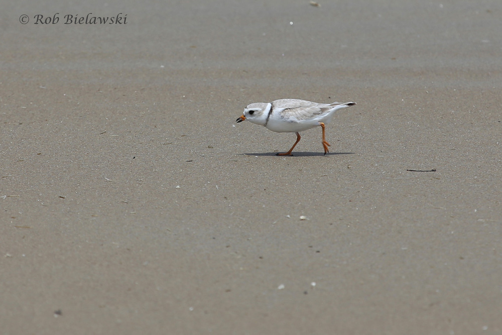 For the second outing in a row, a Piping Plover was seen along the beachfront at Back Bay NWR!