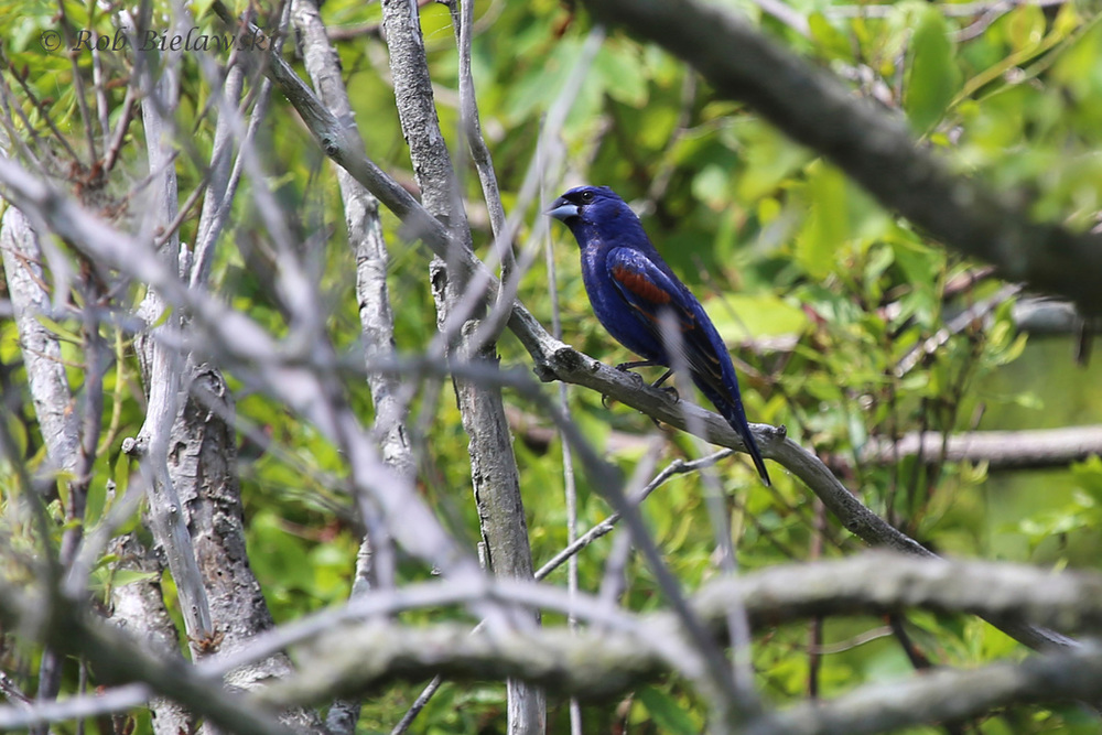 A beautiful Blue Grosbeak male, seen along the Loop Road at Back Bay NWR on Saturday!