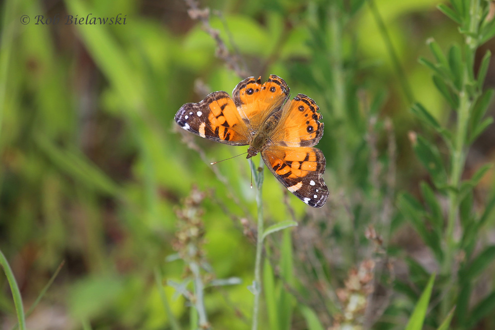 This brightly colored Painted Lady butterfly was seen along the West Dike Trail on Sunday morning!