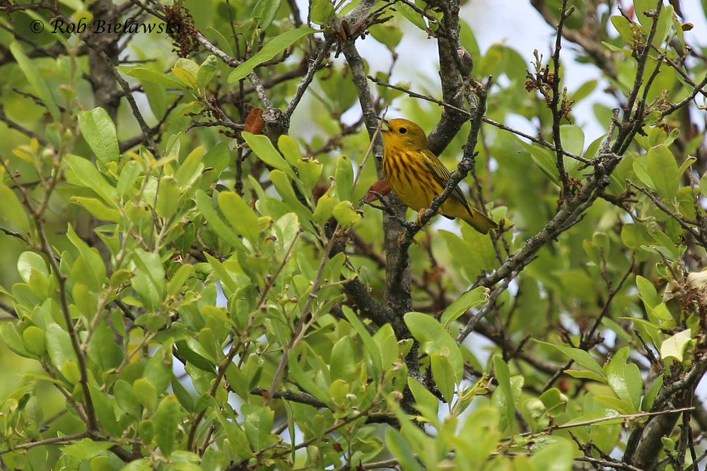 One of three on the day, this Yellow Warbler was singing from a perch high atop a Live Oak tree patch along the West Dike at Back Bay!