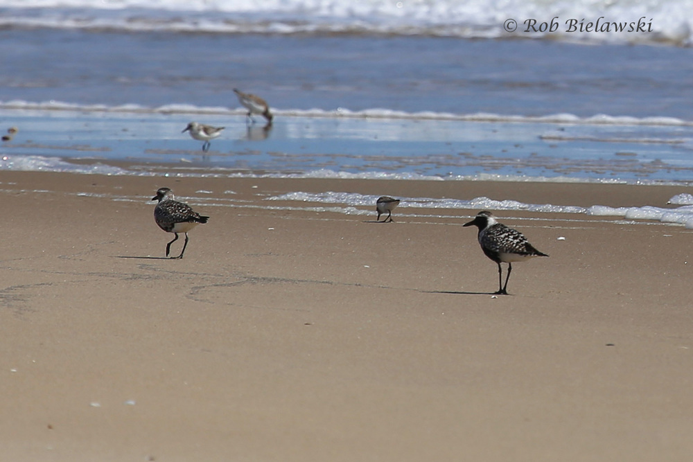 Black-bellied Plovers, Sanderlings & Semipalmated Sandpipers