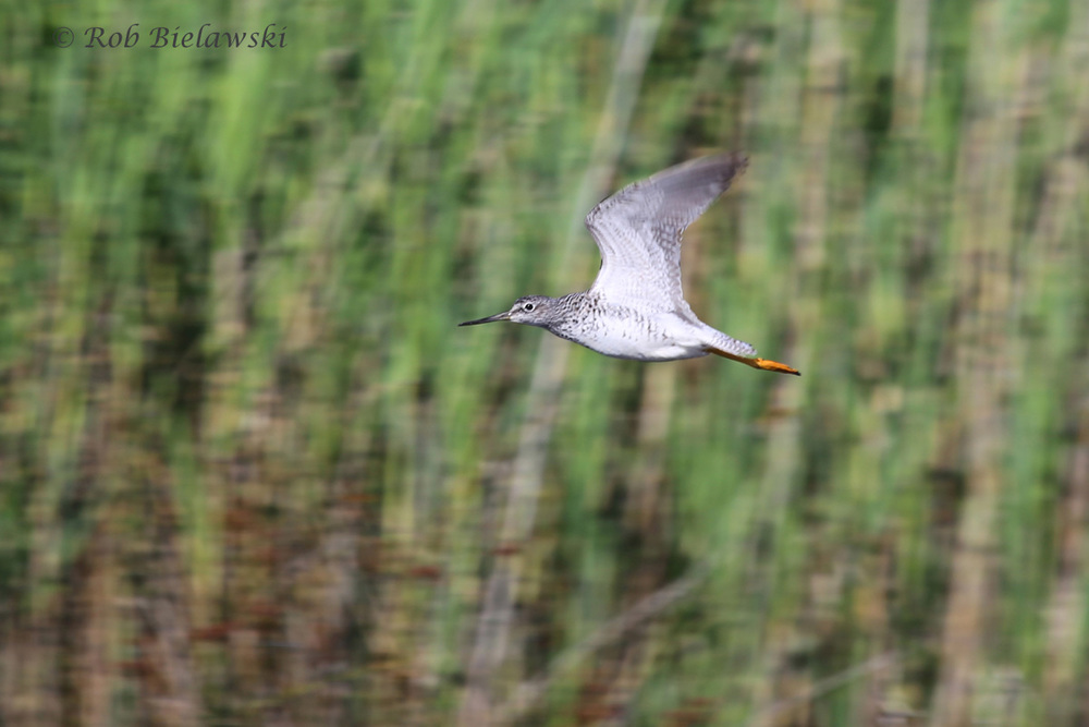 This Greater Yellowlegs was seen at Back Bay NWR, and erupted into flight, allowing for this neat shot in front of the marshy background of the park!