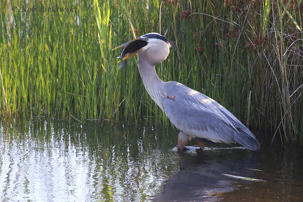 Great Blue Herons have been known to be quite gluttonous, taking on prey much larger than even this Bluegill, but what a sight to behold when it happens in front of you!